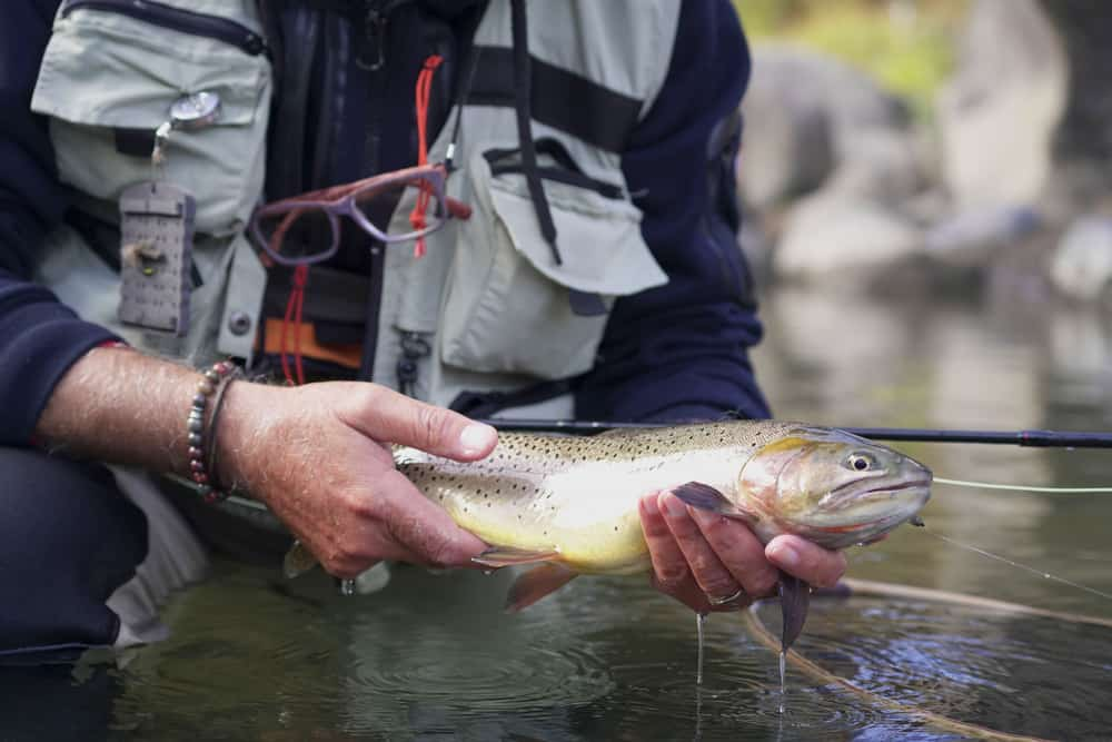 types of trout series - cutthroat trout