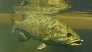 small mouth bass underwater