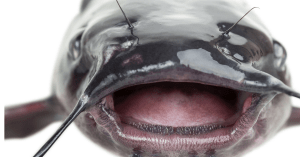 do catfish have teeth article featured image of a close up of a catfish mouth