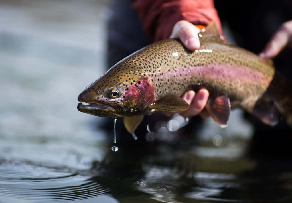 rainbow trout drops of water held by fisherman excellent