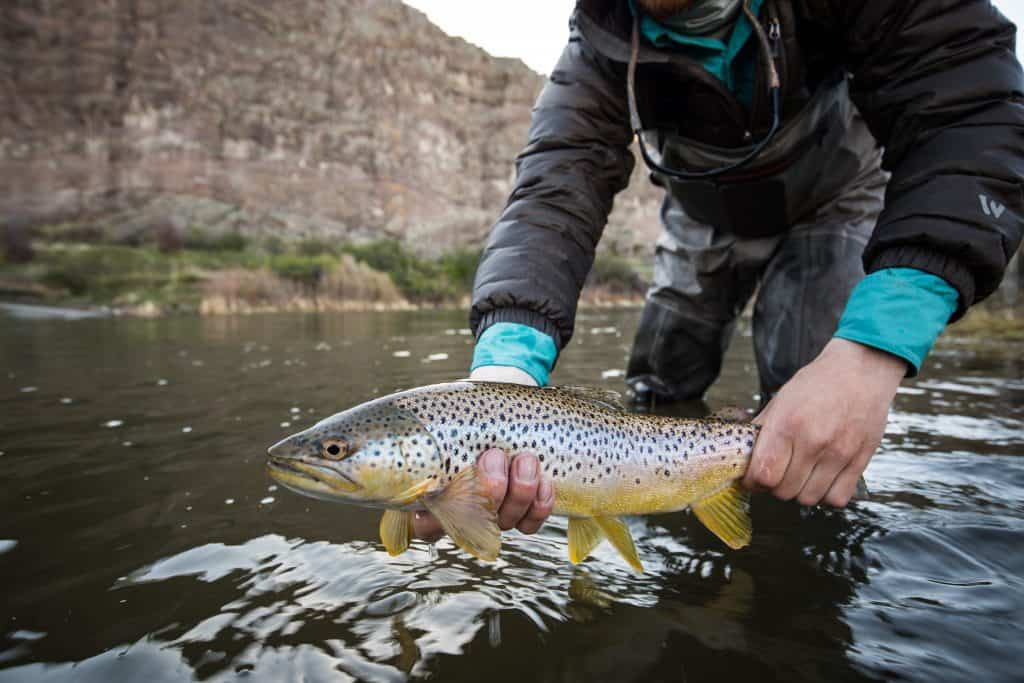 brown trout held out of water excellent