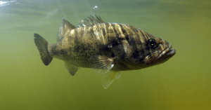 underwater picture of a laregemouth bass swimming near the surface