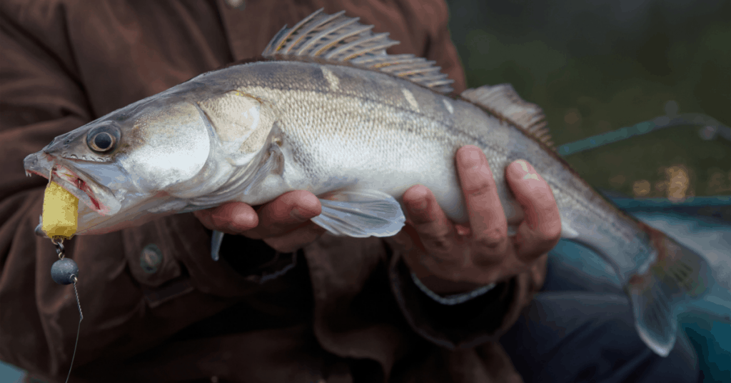 Walleye being hled by fisherman caught on a jig head