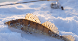 Close up pic of a walleye in the sun sitting on the ice ice fishing rod in the background