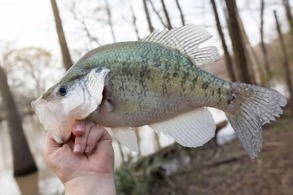 White crappie being gripped by thumb