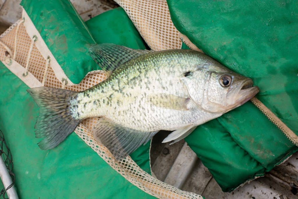 white crappie on green life jacket
