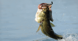 Bass Jumping Out of the Water Feature Image