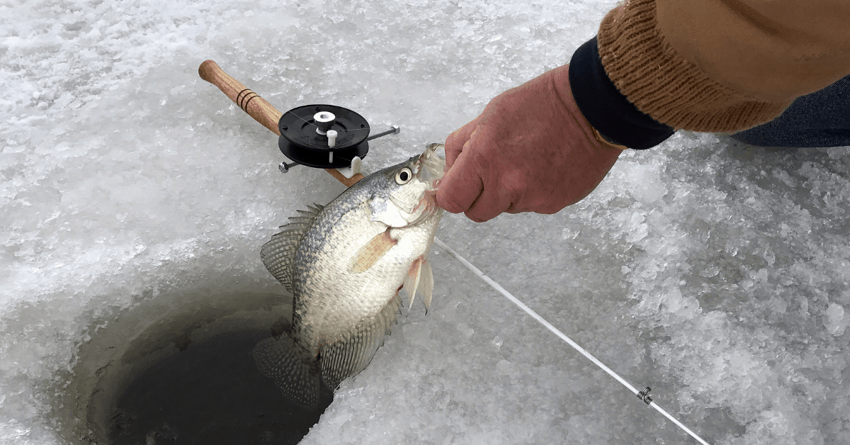 a crappie bring held by the lip by a fisherman above an ice hold ice fishing