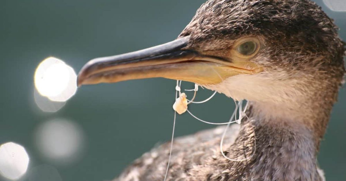 Seabird with fishing line in its beak recycling