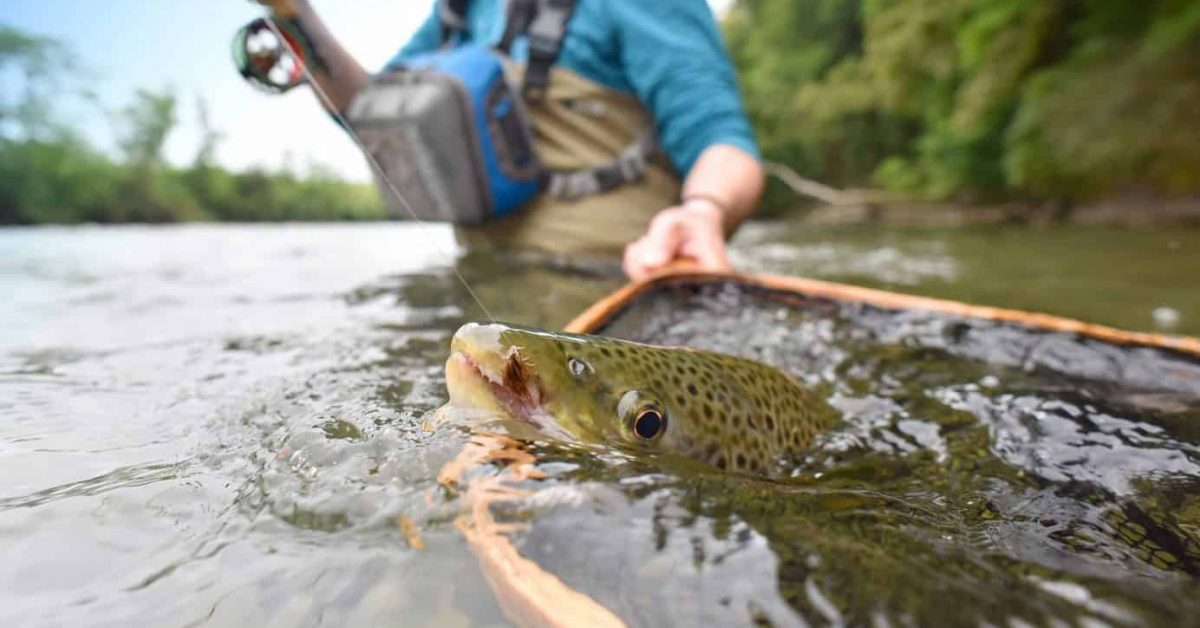brown trout being netted in a river fisherman excellent